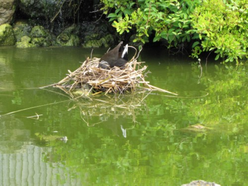 bird building nest on water England Day 3 Part 1: Leeds Castle