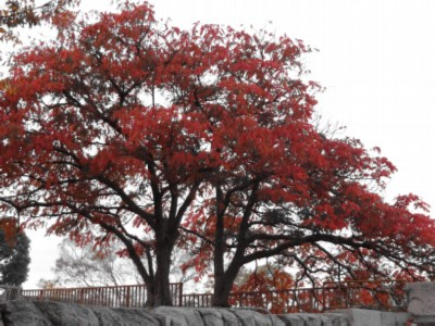 beautiful red trees surrounded the castle Japan: Osaka Castle